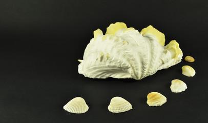 Beautiful large seashells, isolated on black background