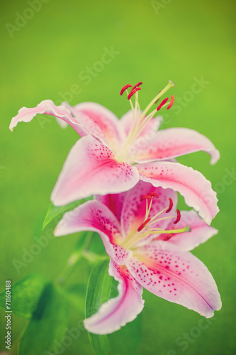 canvas print picture Lilies in the garden