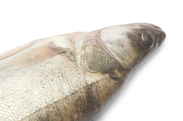 fresh pike perch isolated on a white background