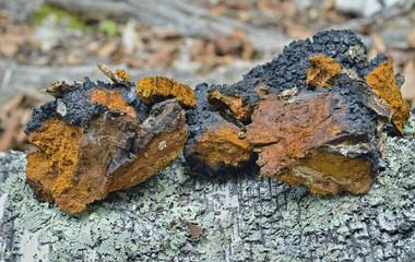 Medicinal mushroom (Inonotus obliquus) 1