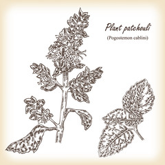 Plant patchouli (Pogostemon cablini). Hand drawn vector