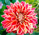 Red dahlias in garden