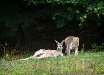 Two kangaroos resting on the meadow