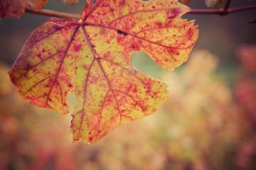 Foglia di vite in autunno