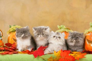Vier Perserkätzchen in Herbstdekoration