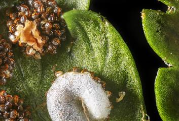 fern spores - Dryopteris filix-mas - macro photography 5:1