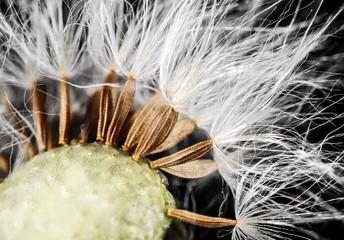 dandelion seeds - macro photography