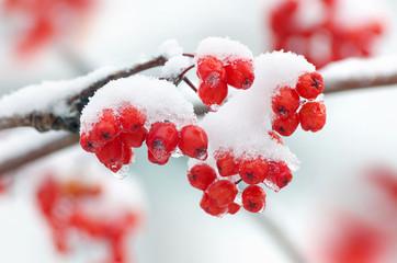 Rowan in snow closeup