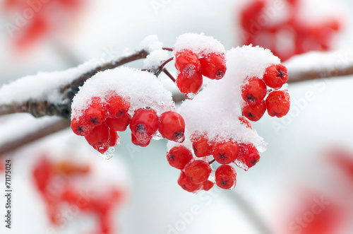 Rowan in snow closeup