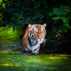 Tiger in water.