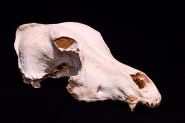 Dried Dog Skull Bone
