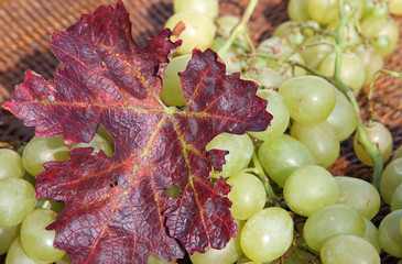 bunch of grapes mature in wicker basket in the autumn