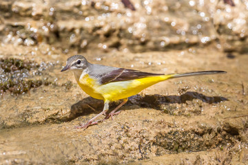 Left side of Yellow Wagtail walking down in nature