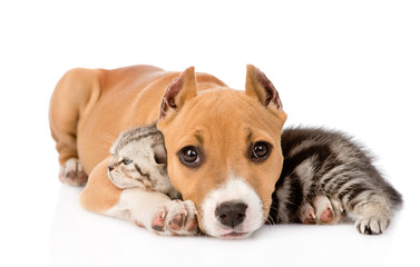 stafford puppy and scottish kitten together. isolated on white b