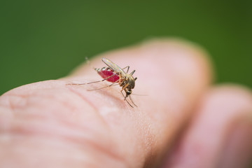 The tiger mosquito drinks blood from