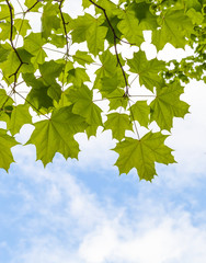 Fresh green maple leaves above blue sky background
