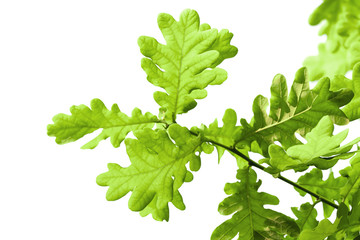 Fresh green oak leaves isolated on white background