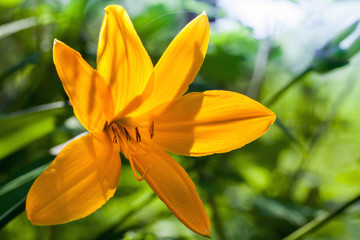 Hemerocallis lilioasphodelus. Bright yellow lily flower in summe