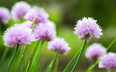 Purple chives blossom in the summer garden, selective focus