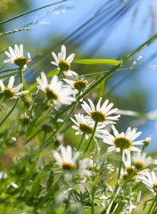 Wild white daisies grow on a summer meadow. Selective focus