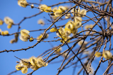 Yellow willows flowers above blue sky in spring forest