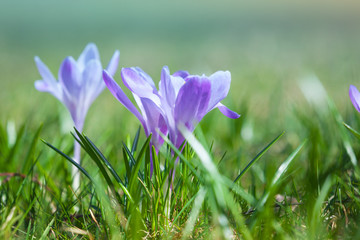 Crocus flowers grow on the spring meadow, macro photo