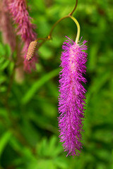Sanguisorba hakusanensis, Rosaceae, Japan endemic species