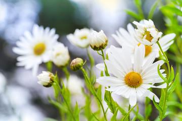 Macro photo of big white daisies in the garden, selective focus