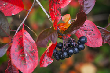 Branch of black chokeberry with black fruits and red leaves