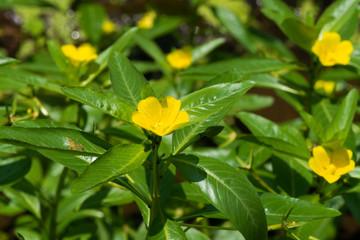 Ludwigia peploides subsp stipulacea, ONAGRACEAE