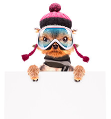 dog  dressed as skier with banner