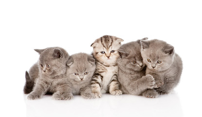 large group scottish and british shorthair kittens. isolated on