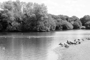 Greylag and Canada geese by a lake in the summer