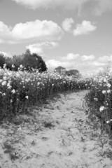 Path leads through a field of oilseed rape