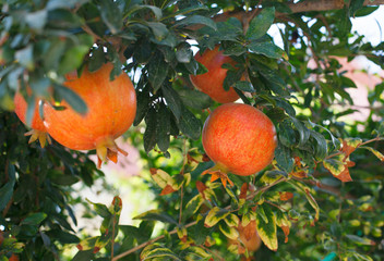 background of ripe pomegranate on tree