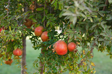 background of ripe pomegranate on tree