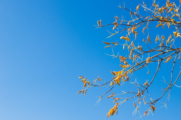 Natural background. Maple branch with yellow leaves against the