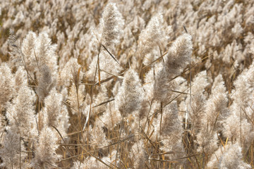 Natural background. Field of dry fluffy autumn grass