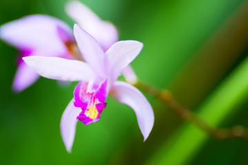 Bletilla formossa x striata, Orchidaceae