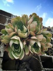 растения майорки