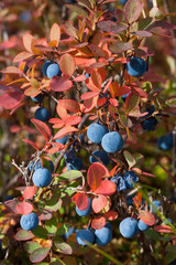 ripe bog bilberry