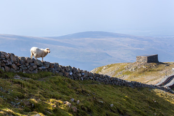 Sheep on a stone wall