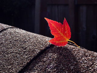 Red maple leaf on asphalt shingles