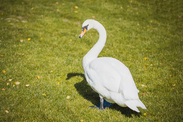 Beautiful white swan walking on the grass