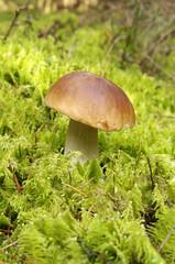 Oak Mushroom in the moss