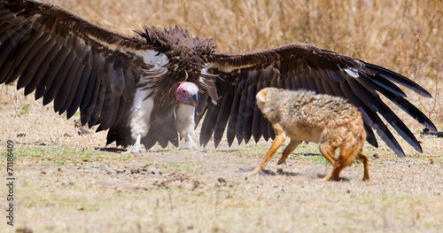 Staande foto Hyena Fight between vulture and wild dog in Africa