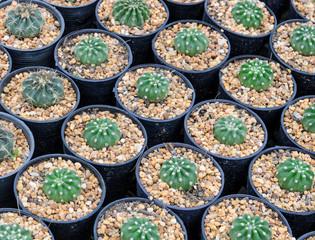 Cactus plants in a nursery