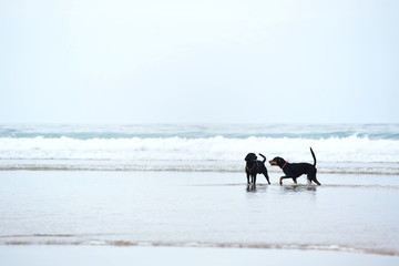Retriever labrador and doberman playing together on the beach