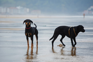 Two beautiful black dogs standing on the beach at walk