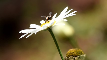 Bee collecting honey - from white flower